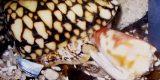 conus_marmoreus_02